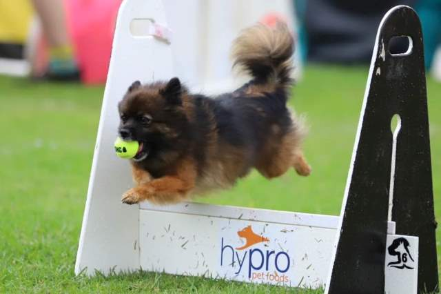 Pikachu - Norwest Flyball Club